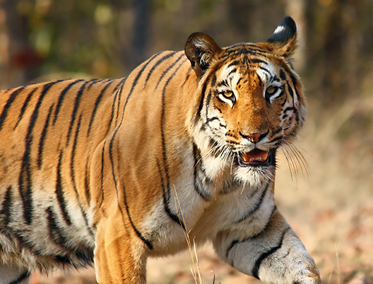 wildlife Tour Packages From in Delhi Hire Car and Driver Service